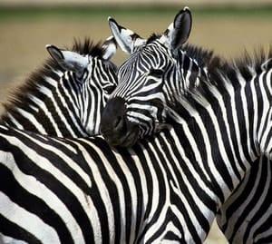 Откуда произошло название бисквита зебра